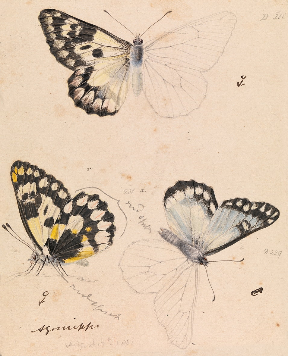 Wood White Butterfly, Delias aganippe door Arthur Bartholomew